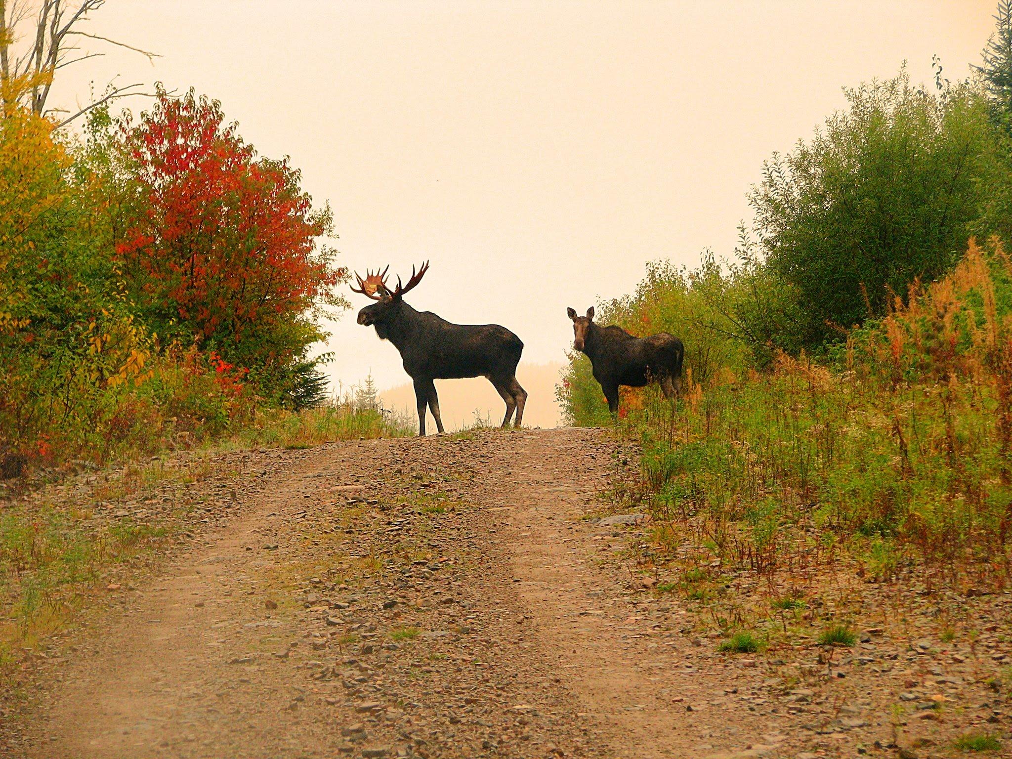 New Brunswick Hst >> Archery Moose Hunt - Wild Goose Lake Resort - Geraldton, Jellicoe, Walleye, Pike, and Fishing Resort